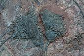 Fossil Crinoid - Siphocrinite sp. - Ordovician - Morocco