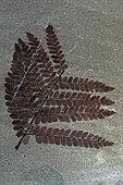 Fossil Fern (Neurpteris ovata), Carboniferus, New Mexico