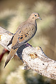 Mourning Dove (Zenaida macroura) Perched on branch - Sonoran Desert - Arizona - The common wild dove in North America - Eats seed-waste grain - fruits-insects - Plump fast-flying birds with small heads and low-cooing voices - Nods their heads as they walk.