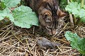 Cat predation on a young Blackcap (Sylvia atricapilla) in the garden