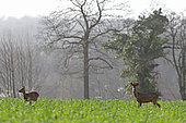 Roe deer (Capreolus capreolus) female and male, Normandy, France