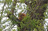 Eurasian red Squirrel (Sciurus vulgaris) eating a nut, Normandy, France