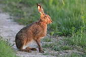 European hare (Lepus europaeus) on a country lane, Normandy, France