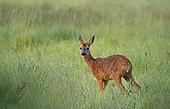 Roe deer (Capreolus capreolus), female in a meadow in spring, Normandy, France