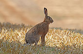 European hare (Lepus europaeus) in a field of freshly mown wheat, Normandy, France