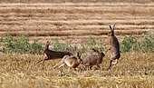 European hares (Lepus europaeus) chasing in a field of freshly mown wheat, Normandy, France