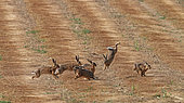 European hares (Lepus europaeus) pursuing in a field of freshly mowed flax, Normandy, France