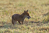 Red fox (Vulpes vulpes) having captured a field mouse in a mown meadow, Normandy, France