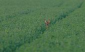 Roe deer (Capreolus capreolus), female in an alfalfa field, Normandy, France