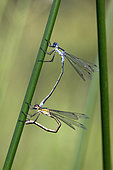 Emerald damselfly (Lestes sponsa) mating on a rush in summer, forest pond, near Toul, Lorraine, France