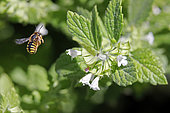 Cotton Bee (Anthidium sp) in flight to forage on flowers in summer, Jardin botanique du Montet, Nancy, Lorraine, France