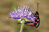 Burnet (Zygaena cynarae) mating on a scabious in summer, Limestone lawn, surroundings of Toul, Lorraine, France