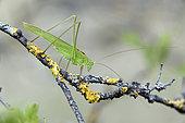 Sickle-bearing Bush Cricket (Phaneroptera falcata) on a branch in a bush in summer, Limestone lawn, surroundings of Toul, Lorraine, France
