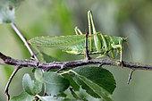Great green bush-cricket (Tettigonia viridissima) male on a blackthorn branch in summer, Limestone lawn, surroundings of Toul, Lorraine, France
