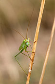 Sickle-bearing Bush Cricket (Phaneroptera falcata) on a dry grass in summer, Limestone lawn, surroundings of Toul, Lorraine, France