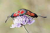 Slender Scotch Burnet (Zygaena cynarae) mating on a scabious in summer, Limestone lawn, surroundings of Toul, Lorraine, France
