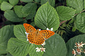 Silver-washed Fritillary (Argynnis paphia) foraging on bramble flowers in summer, Lorraine, France