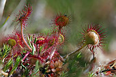 Roundleaf sundew (Drosera rotundifolia) leaves with dew and captured insects, Blanchemer floating peat bog in summer, near La Bresse, Vosges, France