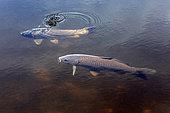 Common carp (Cyprinus carpio) swimming on the surface in summer, Lac de Blanchemer, near La Bresse, Vosges, France