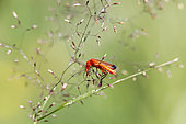 Common Red Soldier Beetle (Rhagonycha fulva) on a grass in summer, Wet and peaty meadow, surroundings of Gérardmer, Vosges, France