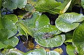 Pool Frog (Pelophylax lessonae) on water lily leaves in a pond in summer, Jardin botanique du Montet, Nancy, Lorraine, France