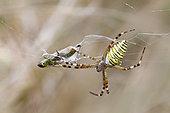Wasp spider (Argiope bruennichi) with a locust captured in its web in summer, Limestone lawn near Toul, Lorraine, France