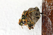 Nest of European paper wasp (Polistes dominula) in the frame of a window in summer, Lorraine, France