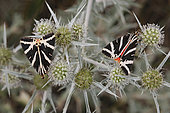 Jersey Tiger (Euplagia quadripunctaria) on a thistle inflorescence in summer in a limestone lawn near Toul, Lorraine, France