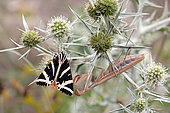 Jersey Tiger (Euplagia quadripunctaria) foraging a thistle inflorescence in summer with a female mantis on the lookout nearby, in a limestone lawn near Toul, Lorraine, France
