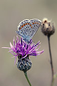 Silver-studded Blue (Plebejus Argus) foraging a flower of Knapweed in summer, Limestone lawn around Toul, Lorraine, France
