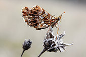 Weaver's fritillary (Boloria dia) at rest on a dry centaury in summer, Limestone lawn near Toul, Lorraine, France
