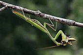 Praying mantis (Mantis religiosa) male devouring a locust in summer, Limestone lawn near Toul, Lorraine, France