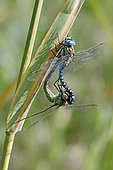 Southern Migrant Hawker (Aeshna affinis) mating on a reed stem in summer near a forest pond, near Toul, Lorraine, France