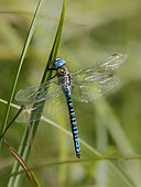 Southern Migrant Hawker (Aeshna affinis) male at rest on a reed stem in summer near a forest pond, near Toul, Lorraine, France