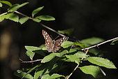 Tircis (Pararge aegeria) dans le feuillage d'un arbuste en été, Forêt de la Reine, environs de Toul, Lorraine, France