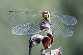 Ruddy darter (Sympetrum sanguineum) female on a dryed leaf in summer, forest pond, surroundings of Toul, Lorraine, France