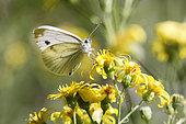 Cabbage butterfly (Pieris rapae) foraging on ragwort flowers in summer near Toul, Lorraine, France