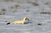 Stoat or Ermine (Mustela erminea) in its winter coat with prey, a Common Vole (Microtus arvalis), biosphere reserve, Swabian Alb, Baden-Württemberg, Germany, Europe