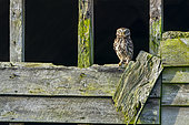 Little owl (Athena noctua) perched on an old barn wall, England