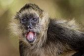 Geoffroy's Spider Monkey (Ateles geoffroyi) portrait, Costa Rica