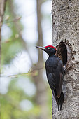Black woodpecker (Dryocopus martius) male at the entrance of its nest, in a forest of the Ventoux massif, Vaucluse, France.