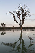 Gray heron (Ardea cinerea) fishing in a waterhole at dusk, Kruger, South Africa