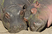 Hippopotamus (Hippopotamus amphibius), two youngsters napping on a riverbank at the hottest hours of the day in May, Kruger, South Africa