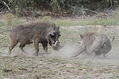 Warthog (Phacochoerus aethiopicus), bullying posture of a male facing an unwanted fellow, Kruger, South Africa