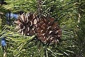 Pinecones (Pinus sylvestris)