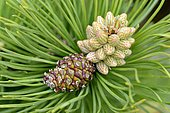 Scots pine (Pinus sylvestris), male blossom and cone, North Rhine-Westphalia, Germany, Europe