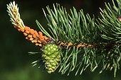 Detail, pine cone, Scots Pine (Pinus sylvestris), Tyrol, Austria, Europe