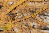 Common Crossbill (Loxia curvirostra) male on a larch, Italian Alps.