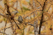 Common Crossbill (Loxia curvirostra) female and chick on a larch, Italian Alps.