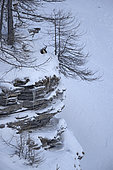 Chamois (Rupicapra rupicapra) in the snow after the storm, Vaud Alps, Switzerland.